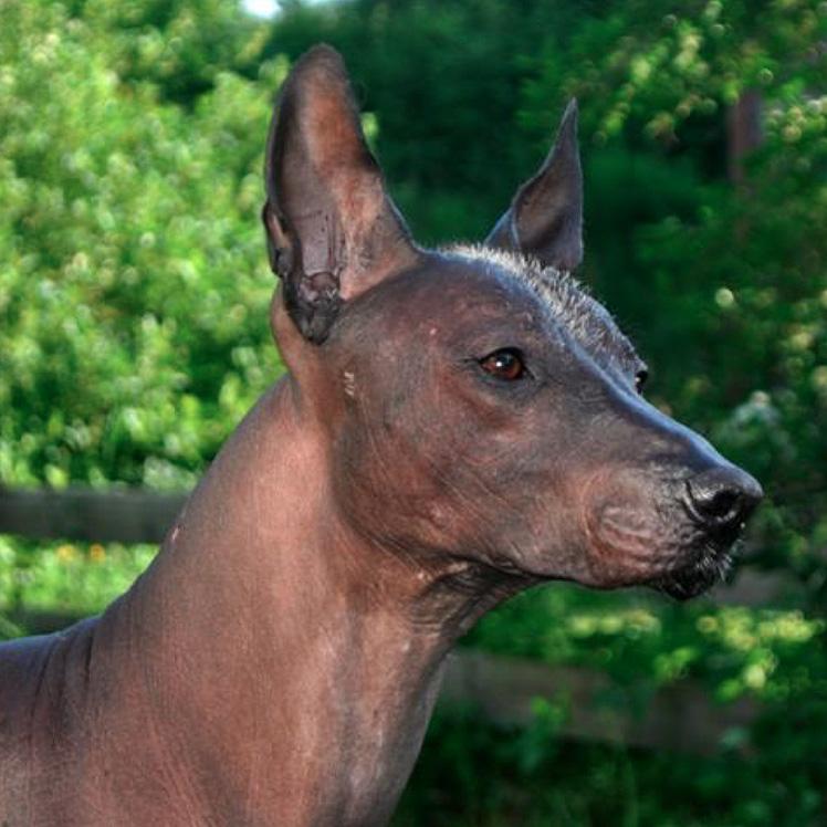 sq-meksikansknakenhund- 2013-11-15 kl. 22.49.49